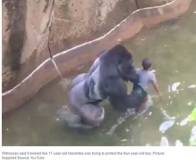 Photo of Boy Falls Into Gorilla Enclosure