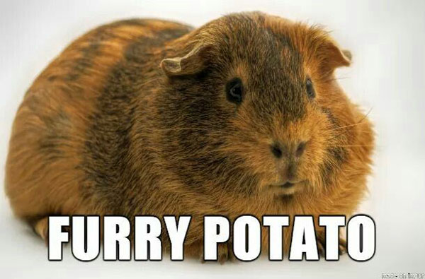 best-pet-guinea-pig